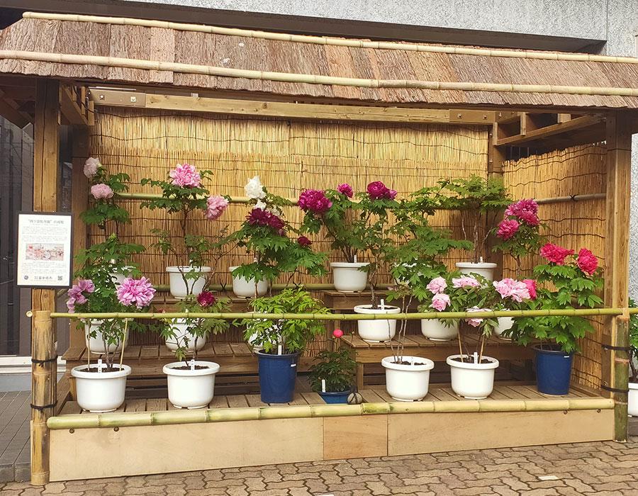 株式会社富士植木の「四ツ目牡丹園」